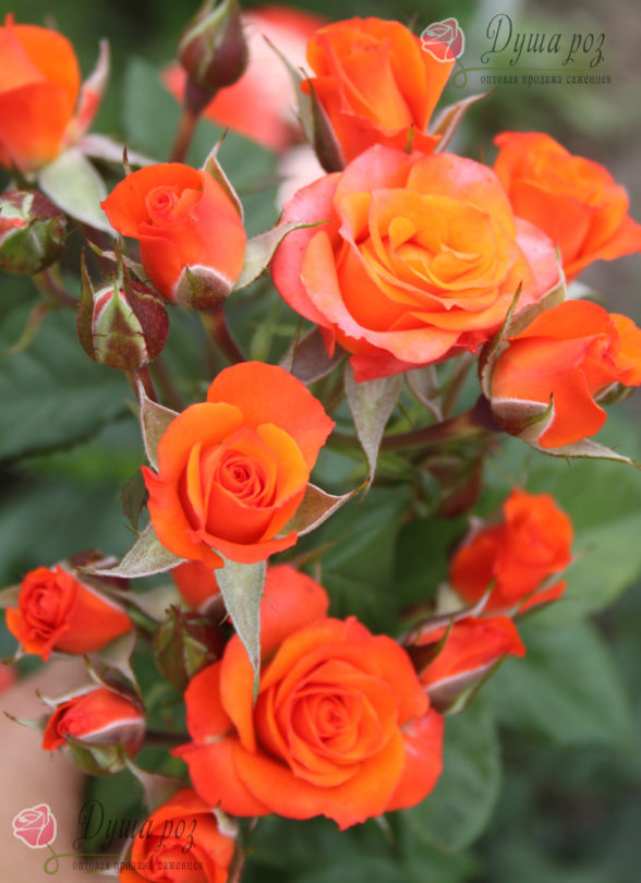 Роза Алегрия