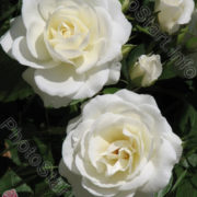Роза Белый каскад