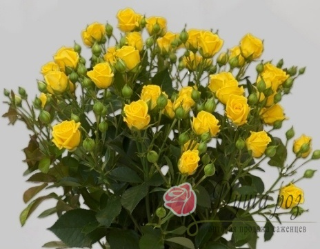 Роза Шанни (спрей желтый)