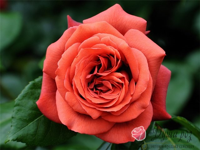 Роза Парковая Терракотовая