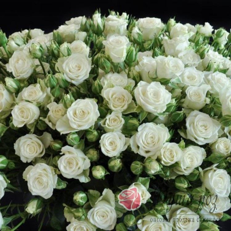 Роза Алеся (спрей белый)