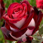 Роза Госпел