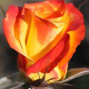 Роза Хион