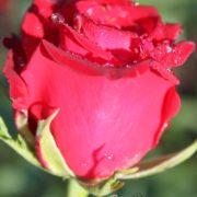 Роза Красная магия