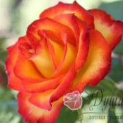 Роза Тайфун