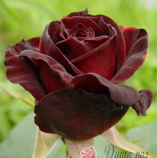 Роза  Блек Баккара