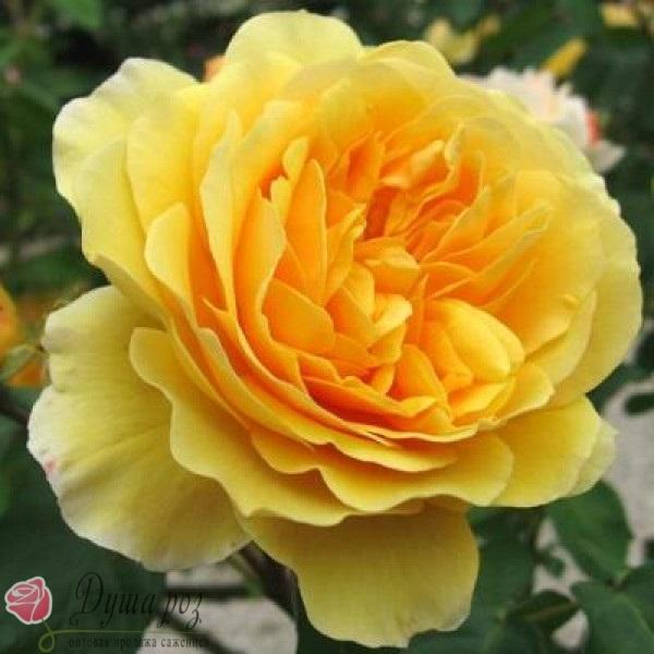 Роза Грехам Томас