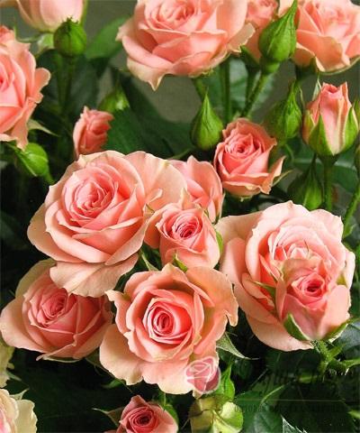 Роза Магическая Диадема