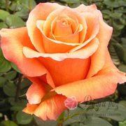 Роза Мильва