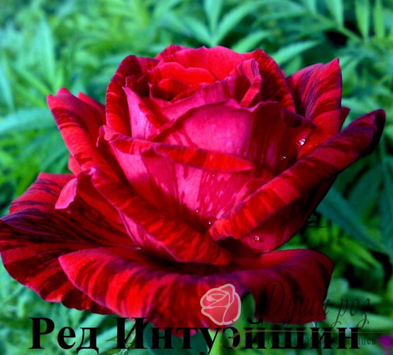 Роза Ред Интуэйшн
