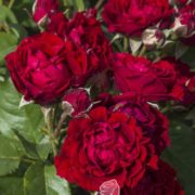 Роза Томанго
