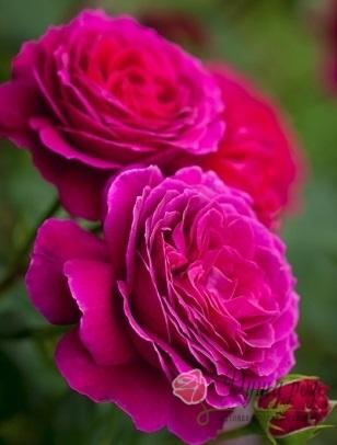 Роза  Биг парпл
