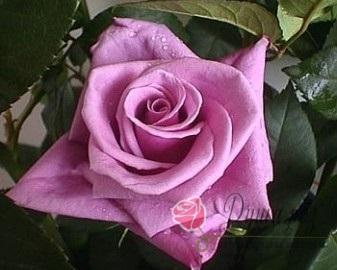 Роза  Далилах
