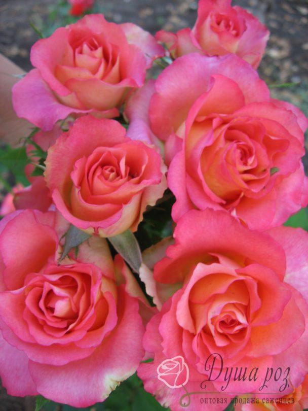 Роза Оранж корона