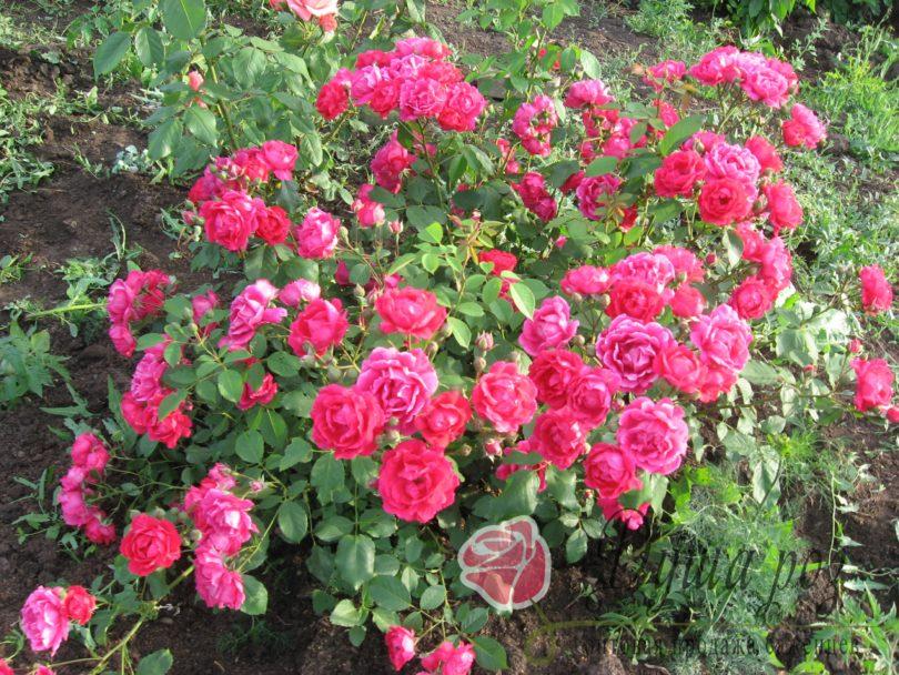 Роза Лавли Фери