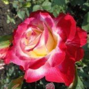 Роза Дабл Дилайт