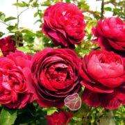 Роза Нахел глоу
