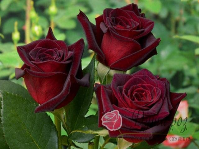 Роза Бодюрная Норита