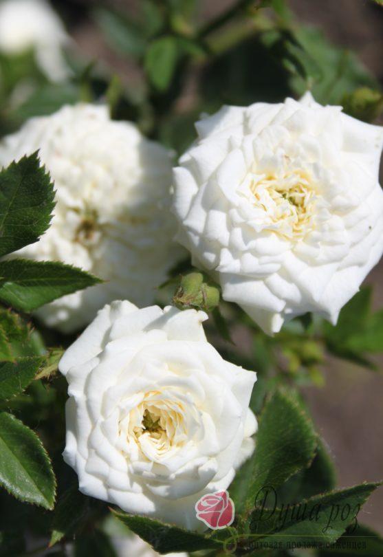 Роза Вайт литл (миниатюрная)