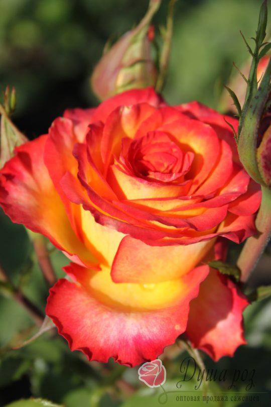 Роза Высшее общество