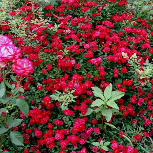 Роза  Ред бул