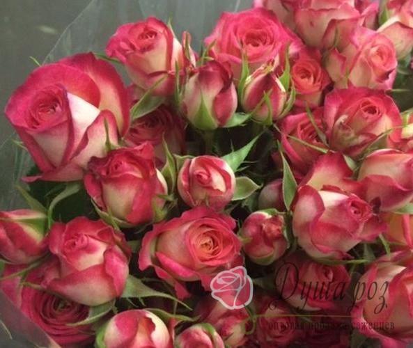 Роза Стар микадо