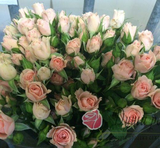 IMG 3183 520x480 Саженцы роз недорого