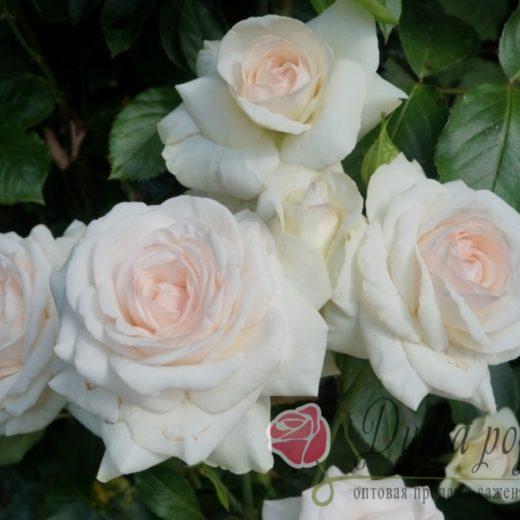 Роза  Шванензее