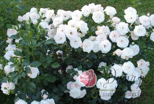 Роза  Кент