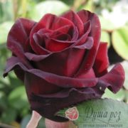 Роза Черный принц
