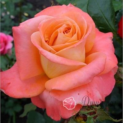 Роза Экзотика