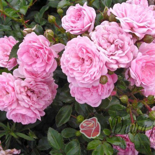 Роза  Фери