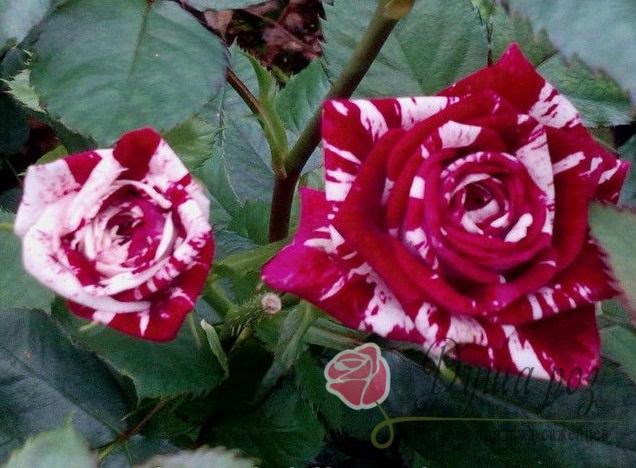 Роза Флеш найт