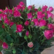 Роза Спрей вишневый