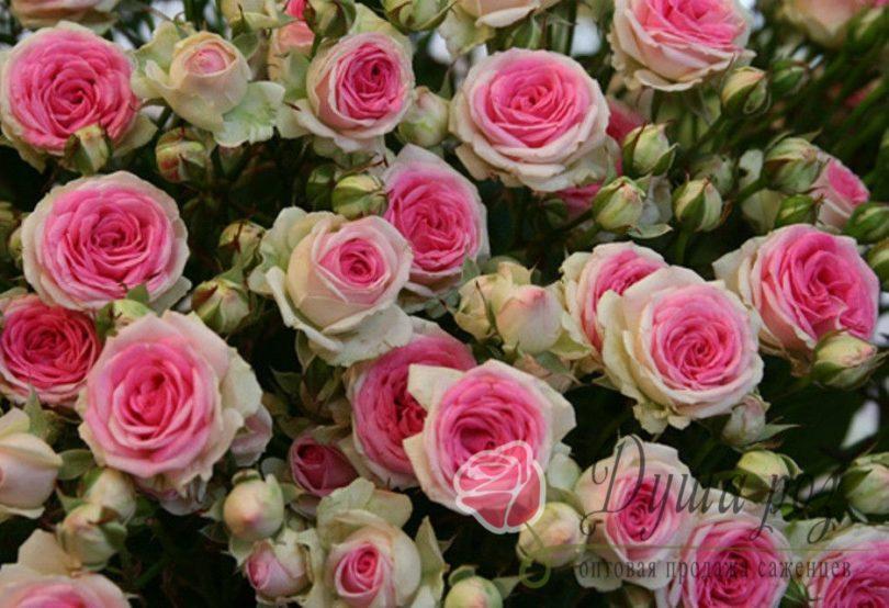 Роза Мими Эдем