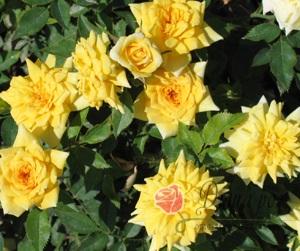 Роза Желтая кукла (миниатюрная)