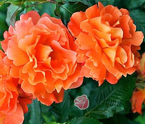 Роза  Оранж Доун