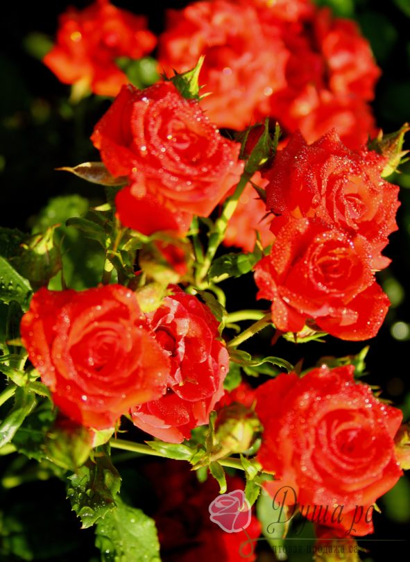 Роза Ред микадо
