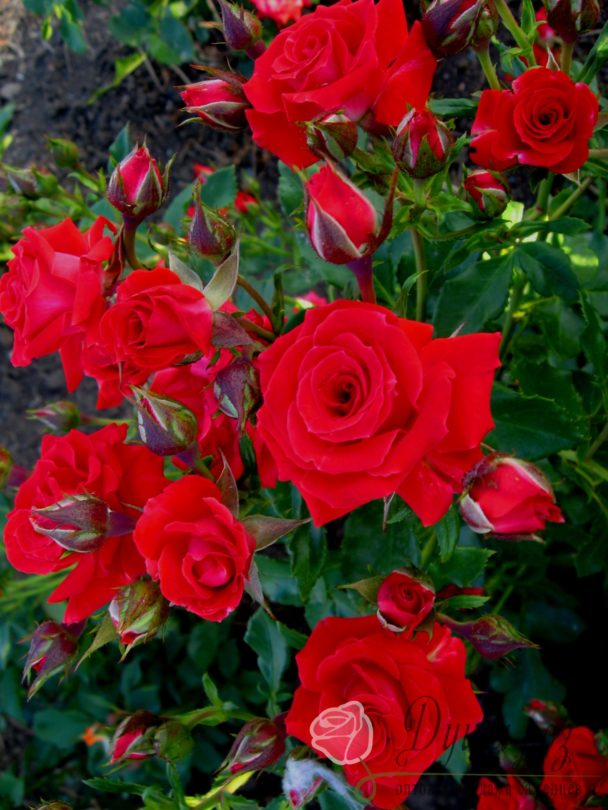 Роза Ред Макарена (Спрей Красный)