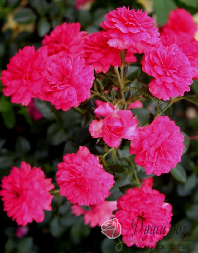 Роза Пени