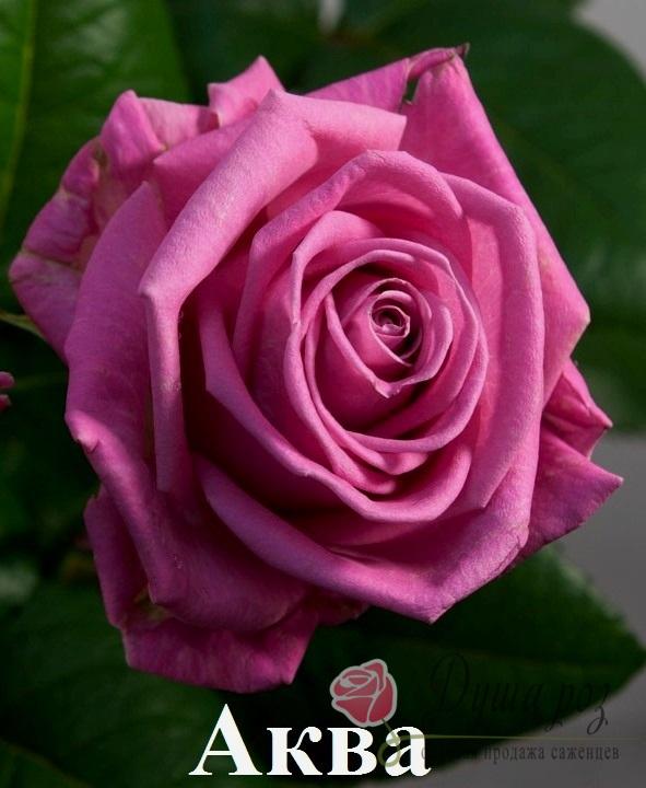Роза Аква