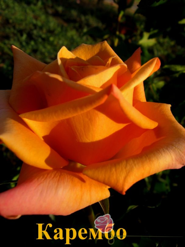 Роза Каремба