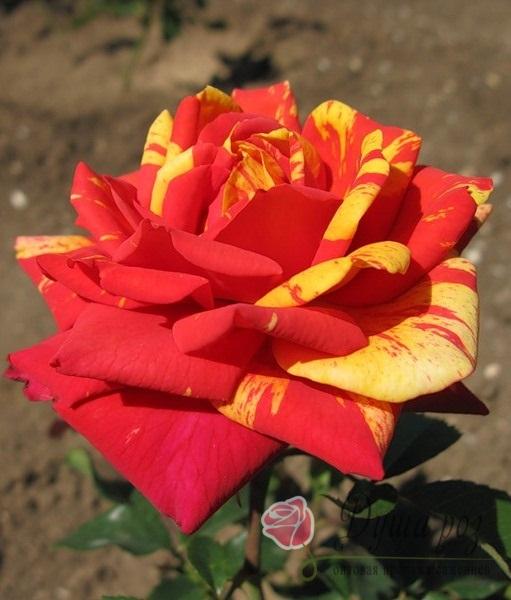 Роза Пападжено