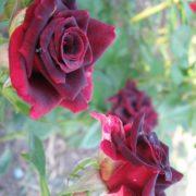 Роза Блек бьюти