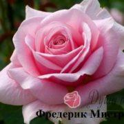 Роза Фредерик Мистраль