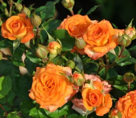 Роза Оранж бейби