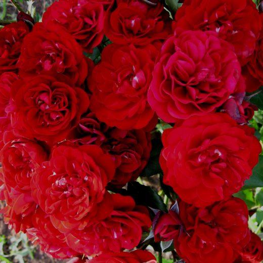 Роза  Кардулла