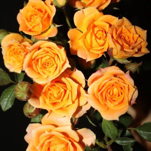 Роза  Клементина (миниатюрная)