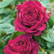 Роза 4-х ветров