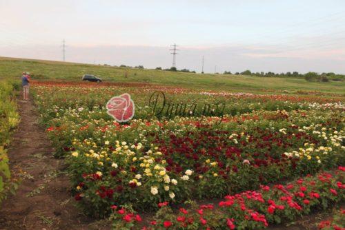 aIMG 9525 500x334 Саженцы роз в контейнере